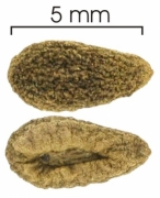 Cestrum megalophyllum seed-dry