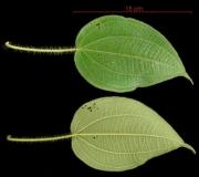 Clidemia octona leaf