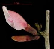 Clitoria javitensis var portobellensis flower