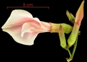 Clitoria javitensis var portobellensis Inflorescence
