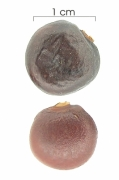 Clitoria javitensis var portobellensis seed-dry