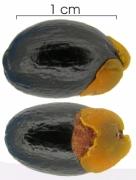 Cnestidium rufescens seed-wet