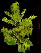 Combretum fruticosum flower plant