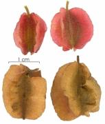 Combretum fruticosum immature-fruit