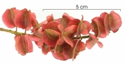 Combretum fruticosum immature-Infructescences