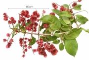 Combretum fruticosum immature-fruit plant