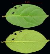 Combretum fruticosum leaf