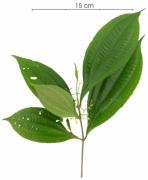 Conostegia cinnamomea flower-bud plant