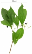 Conostegia cinnamomea fruit plant