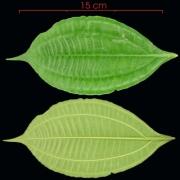 Conostegia cinnamomea leaf