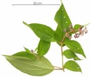 Conostegia speciosa flower plant