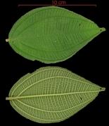 Conostegia speciosa leaf