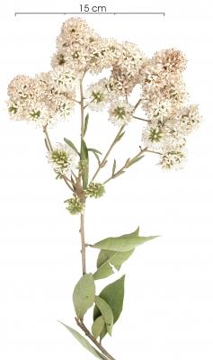 Cordia alliodora flower plant