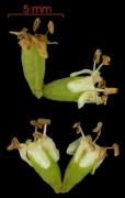 Cordia bicolor flower