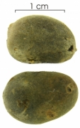 Cordia bicolor fruit