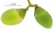 Cordia bicolor immature-fruit
