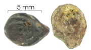Cordia bicolor seed-dry