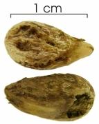 Cordia bicolor seed-wet