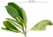 Cosmibuena grandiflora immature-fruit plant