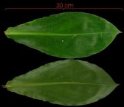 Costus pulverulentus leaf