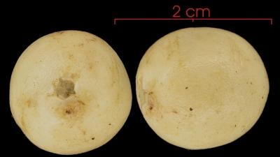 Cryosophila warscewiczii fruit