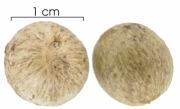 Cryosophila warscewiczii seed-wet