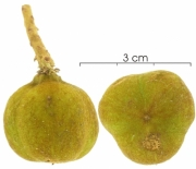 Cupania latifolia immature-fruit
