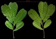 Cupania latifolia leaf