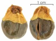 Cupania latifolia seed-dry