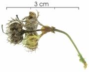Dalechampia cissifolia subsp panamensis fruit