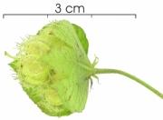 Dalechampia cissifolia subsp panamensis immature-fruit