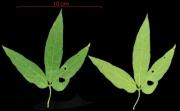 Dalechampia cissifolia subsp panamensis leaf