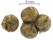 Dalechampia cissifolia subsp panamensis seed-wet
