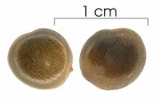 Dialium guianense seed-dry