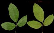 Dioclea guianensis leaf
