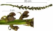 Dioclea wilsonii Inflorescence buds