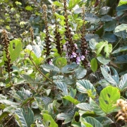 Dioclea wilsonii flower plant