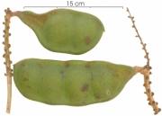 Dioclea wilsonii immature-fruit