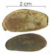 Diospyros artanthifolia seed-dry