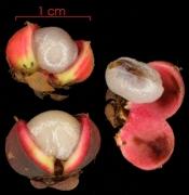 Doliocarpus multiflorus fruit