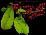 Doliocarpus multiflorus fruit plant
