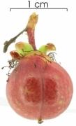 Doliocarpus multiflorus immature-fruit