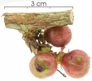 Doliocarpus multiflorus immature-Infructescences