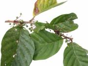 Doliocarpus multiflorus immature-fruit plant