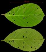 Doliocarpus multiflorus leaf