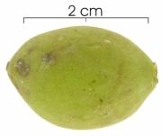 Drypetes standleyi fruit