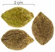 Drypetes standleyi seed-wet