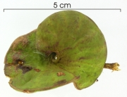 Enterolobium schomburgkii immature-fruit