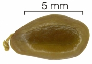 Enterolobium schomburgkii seed-wet