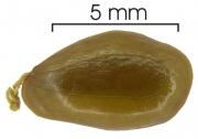 Enterolobium schomburgkii seed-wet